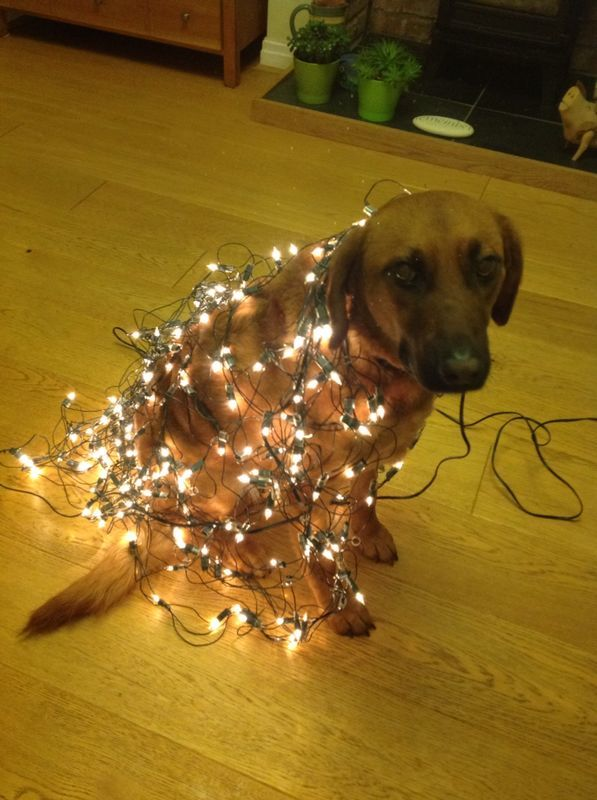"Huney ""helping"" to put the Christmas lights up! Photo credit and copyright : Abigail Herron"