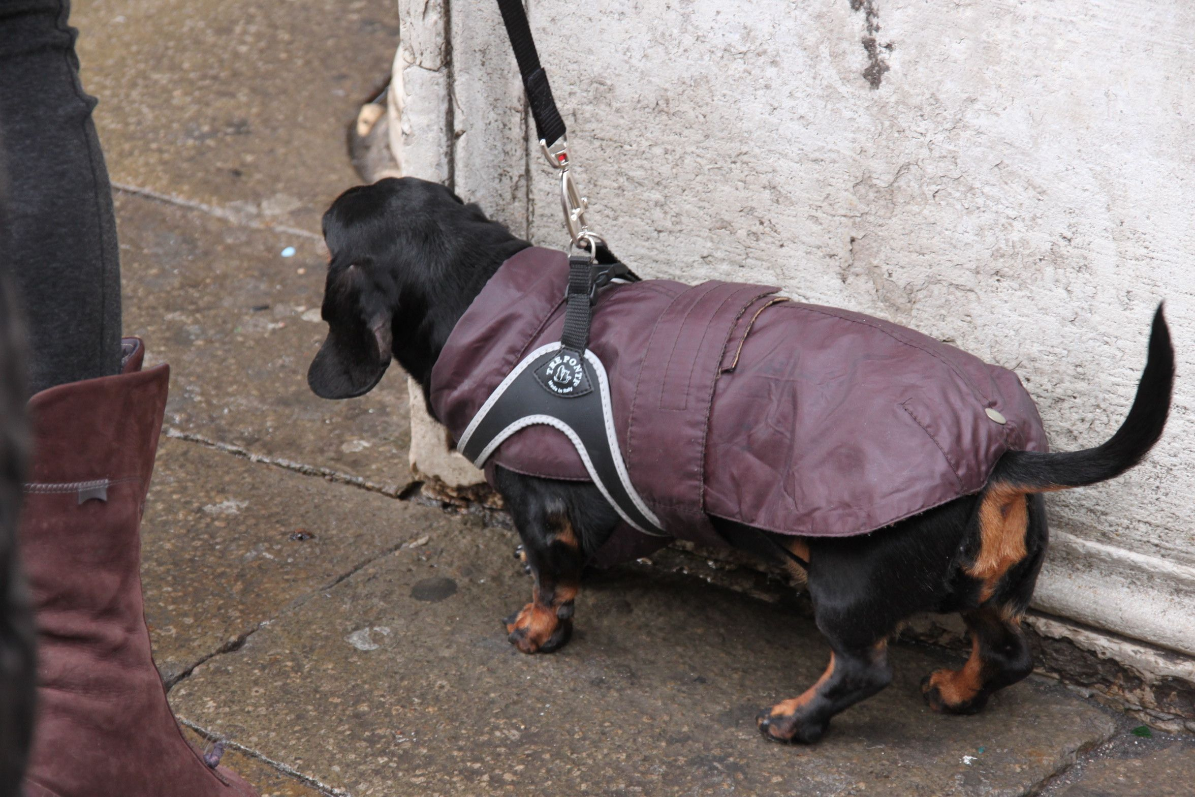A sausage dog wrapped up against the rain