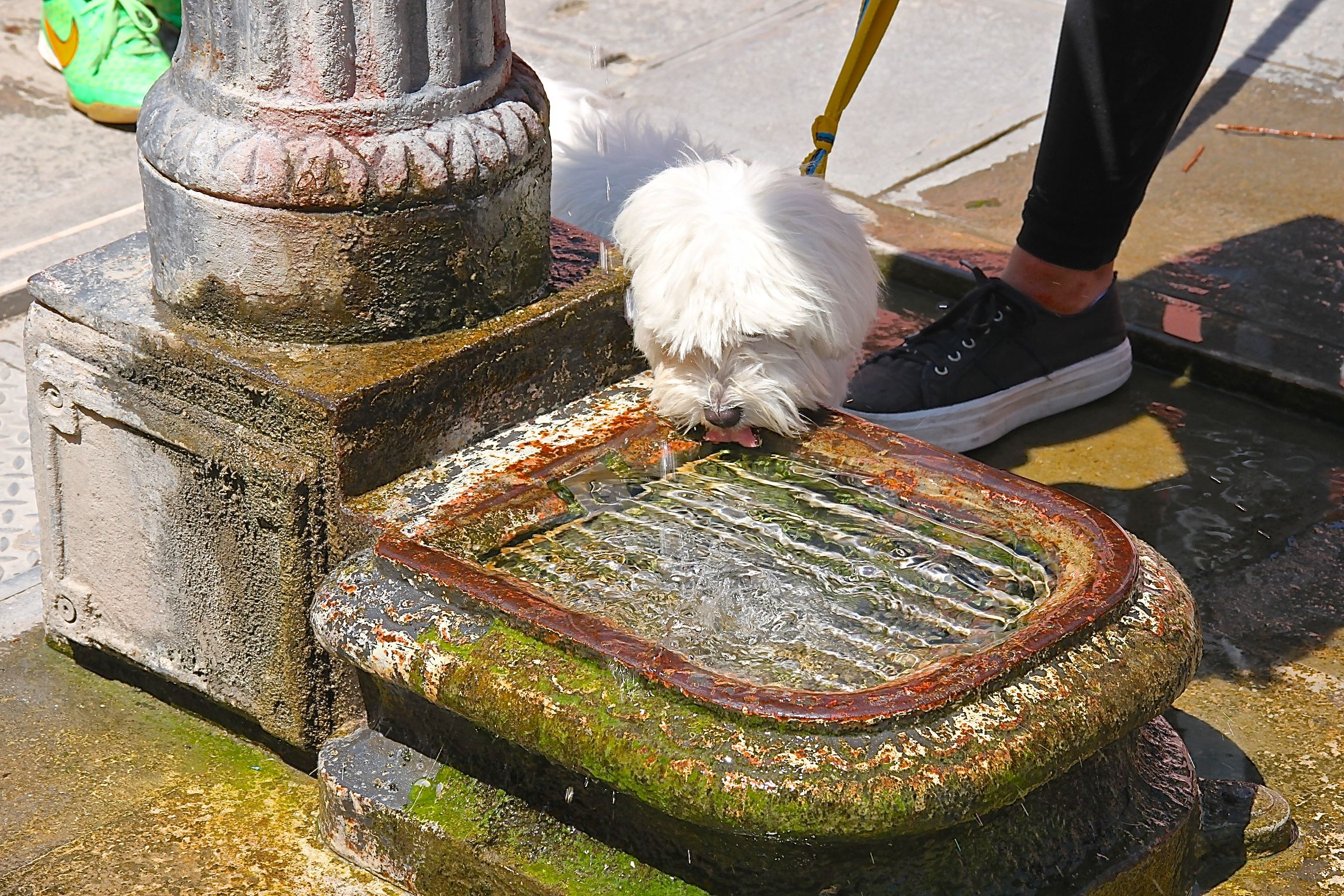 Photo of a Maltese dog drinking from a water fountain in Burano, Venice, Italy