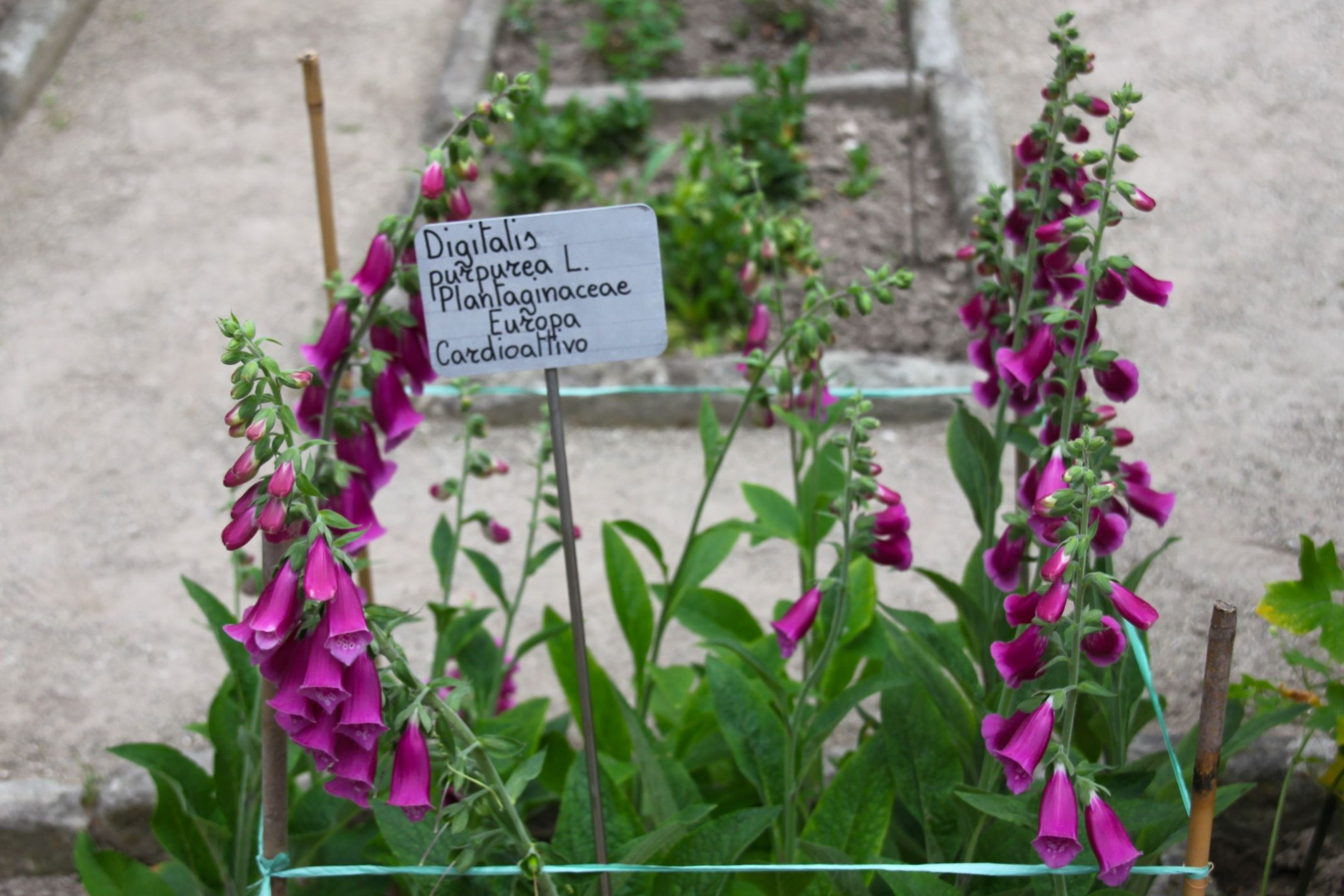 Photo of digitalis plant at the Padua botanic gardens